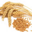 10 Lb Common Wheat berries seed for flour, juice, grow or store from Oz up to Pounds