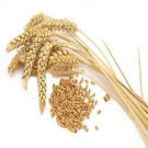 1 LB of Winter Wheat Seed - Deer Turkey Wildlife Food Plot - Quick Food Plot