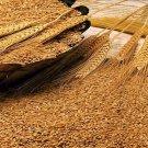 12LBs of Winter Wheat Seed - Deer Turkey Wildlife Food Plot - Quick Food Plot