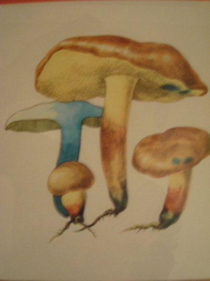 Art work by H.S for Sauder Inc (Subject) Mushrooms.