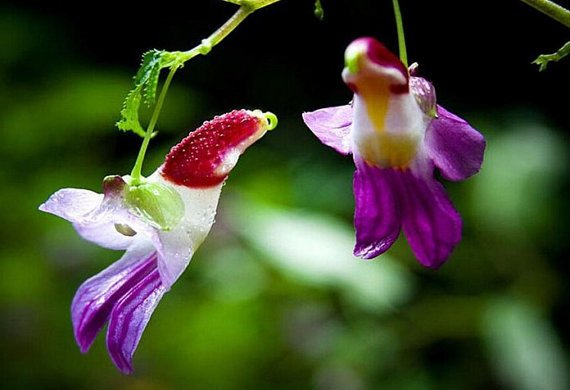 New Zealand colorful parrot orchid seeds Flower Seeds 20 Seeds