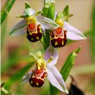 The Rare Ophrys apifera (Bee Orchid) seeds Smile Face Flower Seeds 20 Seeds