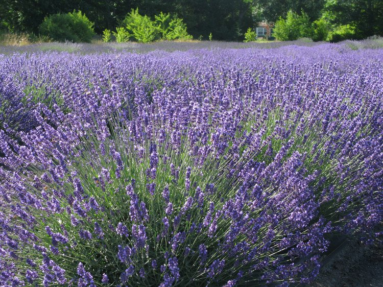 Lavender Flower Seeds Rich Aroma Perennial Ornamental