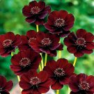 100 Chocolate Cosmos Seeds