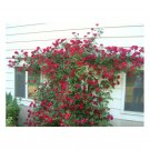 Climbing  Red Rose Flower Plant Seeds