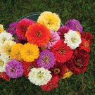 Dahlia Mix Organic Flowers Seeds