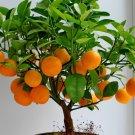 Orange Bonsai Seeds