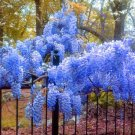 Blue Japanese Wisteria Seeds
