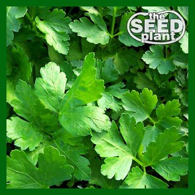 Plain Italian Parsley Seeds - 300 SEEDS NON-GMO