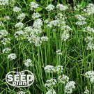 Garlic Chives Seeds - 150 SEEDS NON-GMO