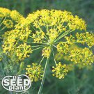 Bouquet Dill Seeds 250 SEEDS NON-GMO