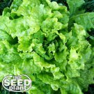 Black Seeded Simpson Lettuce Seeds -500 SEEDS NON-GMO
