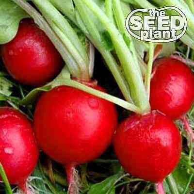 Early Scarlet Globe Radish Seeds - 100 SEEDS NON-GMO