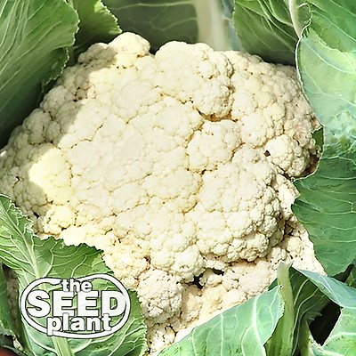 Snowball Cauliflower Seeds -200 SEEDS