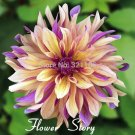 100 Dahlia French Cancan Seeds Attractive Balcony or Potted Flower