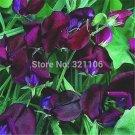 100 BLACK KNIGHT SWEET PEA Flower Vine Seeds
