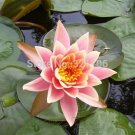 20 SEEDS Pink Five Pointed Star Lotus Beautiful Lotus Aquatic Plants