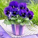 30 blue and brown mixed pansy flower seeds add long lasting color