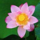 20 SEED Pink Cute Lotus Flower Seeds Gorgeous Aquatic Plants Label: Lotus17