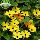 15 Seed Rare Hanging Black eyed Susan Thunbergia Vine Morning Glory