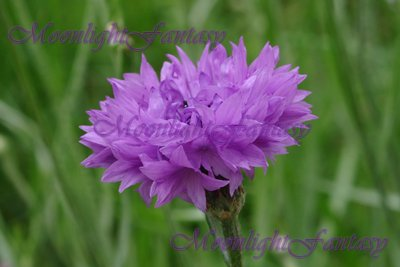 Purple Cornflower #1