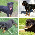 Lot Of 6 Rottweiler Dog Fabric Panel Quilt Squares