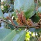 200 grams of dried malayan mistletoe