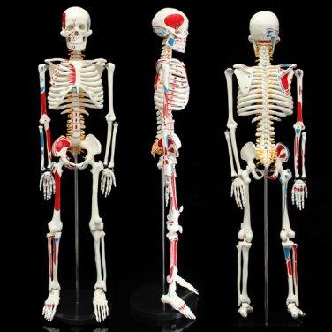 85cm PVC Anatomical Human Skull Skeleton Anatomy Model With Stand Medical Teaching Tool