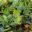 50 Succulent cuttings 30 unique varieties vertical wall wreath succulents plant