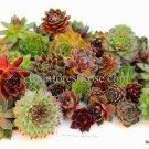24 Sempervivum bare-root 1 inch mixed Hens Chicks cactus succulents echeveria