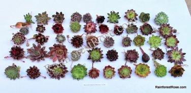 25 Sempervivum cuttings rosette 25 unique varieties Mini Succulents Plants