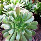 Small cutting Aeonium GIANT at maturity rosette Succulents plants large XL