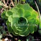 1 aeonium cutting or plant cactus succulents a large giant rosette at maturity