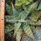 WHOLE LIVE PLANT LARGE Aloe zebrina zebra leaf spotted white succulent cactus