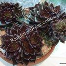 1 Echeveria Black Prince dark color succulent rosette cutting plants cactus