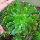 1 Large Rosette Aeonium succulent cutting a statement in Bridal Bouquet
