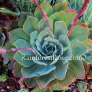 1 echeveria blue pointy chick cutting or plant cactus succulents hens and chicks