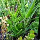 Aloe ciliaris Climbing aloe cutting - cactus succulent plants