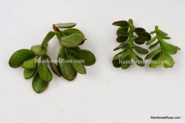3 types Crassula Jade Succulents ET finger, argentea compacta, regular jade