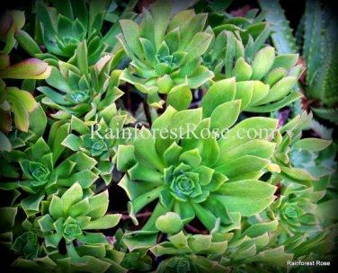 1 Aeonium green cutting succulents cactus plants no pot