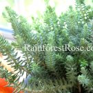 3 Sedum Blue Spruce cuttings Succulents grow fast stonecrop