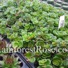 Sedum teractinum Coral Reef cuttings plants Cactus Succulents