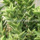 1 Aloe zanzibarica plant cutting Cactus Succulents plants no pot
