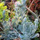 1 echeveria silver color 4 inch wide plant cactus succulents hens and chicks