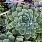 WHOLE LIVE PLANT large light green echeveria rosette roots succulent flower