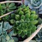 WHOLE LIVE PLANT large bright green echeveria rosette roots succulent flower