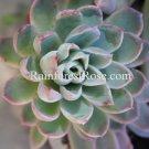 WHOLE LIVE PLANT large cute echeveria rosette with roots succulent flower