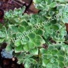 1 Aeonium green red edges cutting Cactus Succulents plants for rock garden