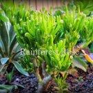 1 cutting Crassula argentea Jade Plant E.T. Fingers Cactus Succulents plants