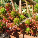 3 cuttings Sedum rubrotinctum Brown Bean Cactus Succulents plant